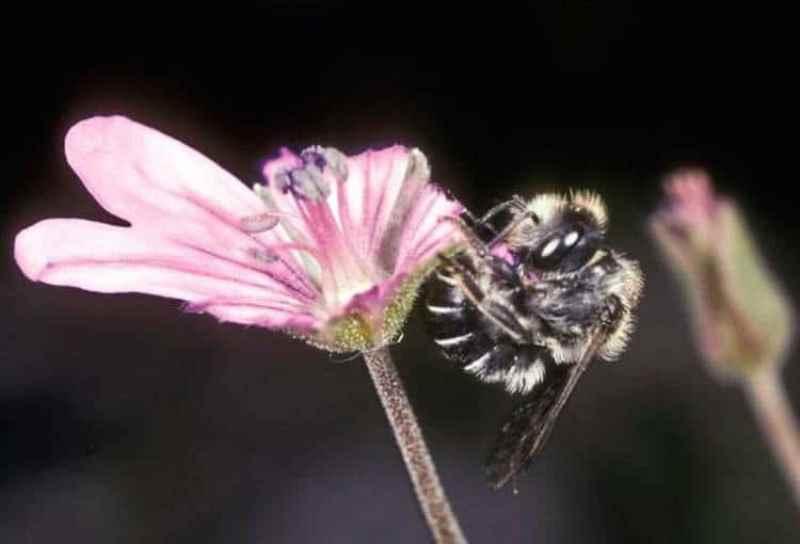 Bilim insanları kovanlarını çiçeklerle inşa eden arılar keşfettiler